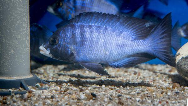 Placidochromis White Lips Mdoka