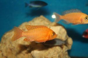 Firefish Weiblich