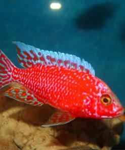 Aulonocara-Firefish