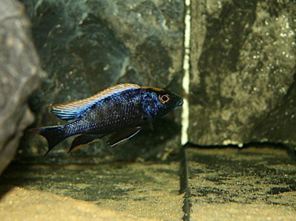 Otopharynx Black-Orange
