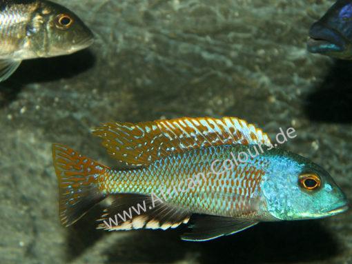 Bucchochromis Nototaenia