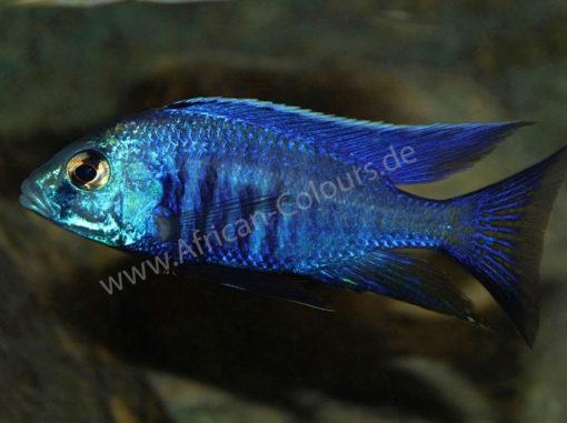 Copadichromis-azureus-Männchen-1