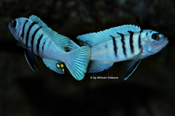 Cynotilapia sp. 'hara' Gallireya Reef Männchen