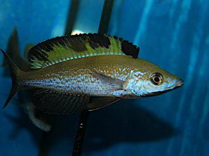 Cyprichromis Microlepidotus Muguruka WF