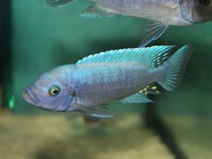 Estherae Blau Rot