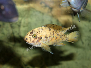 Labeotropheus-Fuelleborni-Eccles-Reef-2