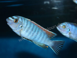 Labeotropheus-Fuelleborni-Makanjira