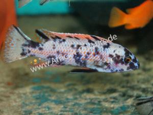 Labeotropheus-trevawasae Higga Reef