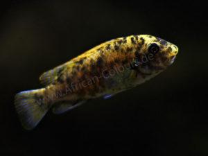 Labeotropheus-fuelleborni-'Nakantenga'-OB-Weibchen-