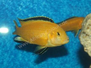 Labidochromis-Caeruleus-Yellow