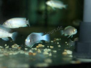 Labidochromis-Chizumulae
