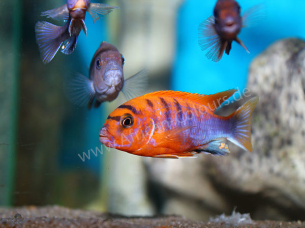 Labidochromis-Hongi-Red-Top-1