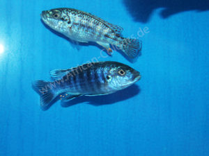 Labidochromis-Joanjohnsonae