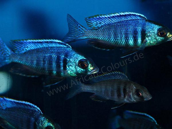 Placidochromis-electra