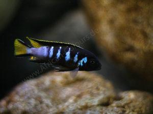 Pseudotropheus-elongatus-Chewere