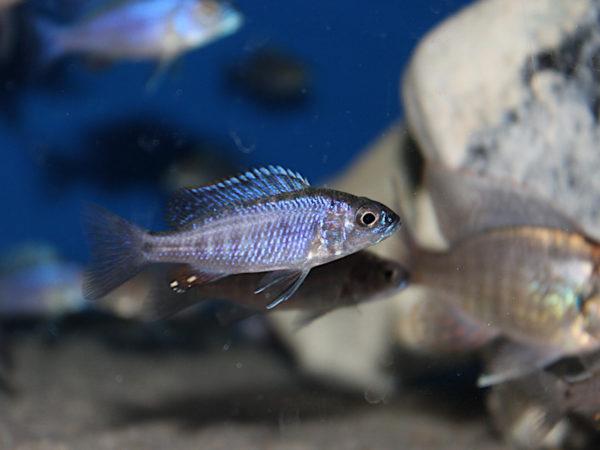Scaeniochromis Fryeri Mbenji.JPG
