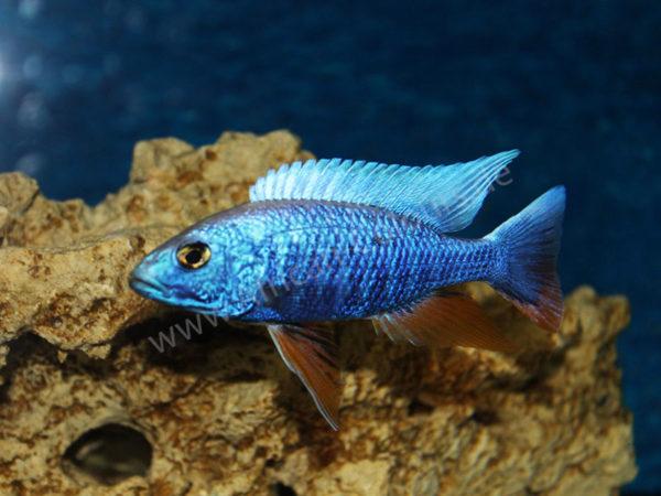 Scaeniochromis-Fryeri-Iceberg