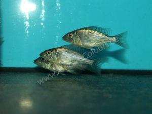 Taeniolethrinops-Praeorbitalis