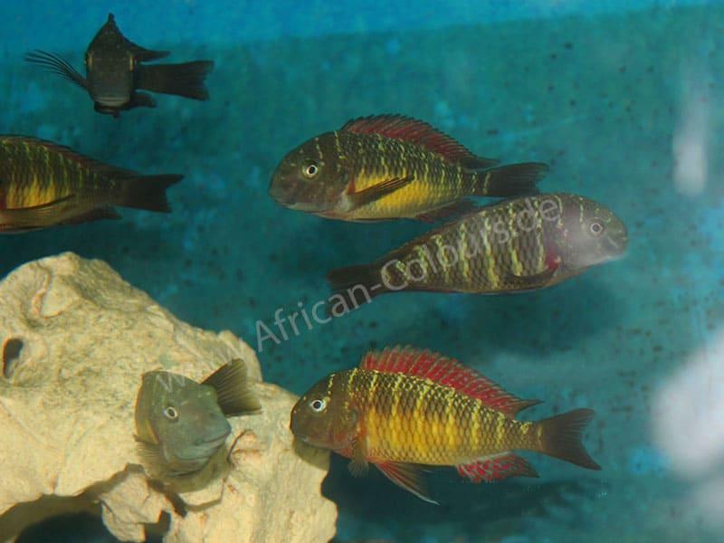 Tropheus Red Rainbow Wfnz Wf African Colours