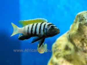 Cynotilapia Jalo Reef