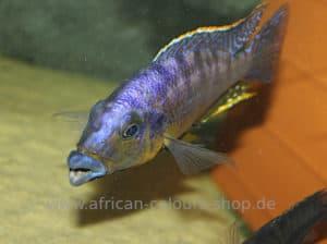 Protomelas Mbenji Thick Lips