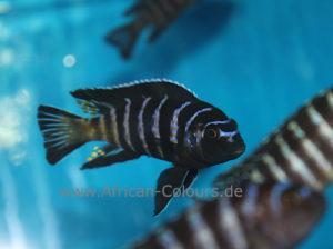 pseudotropheus-elongatus-Gold-bar